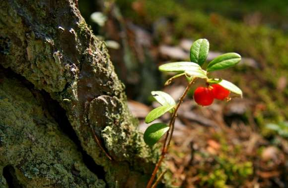 Red Berries Plant