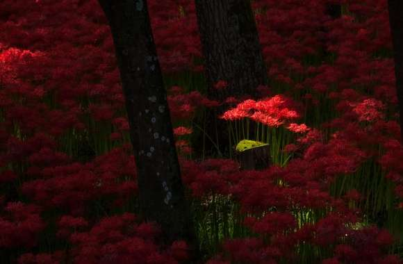 Red Magic Lilies