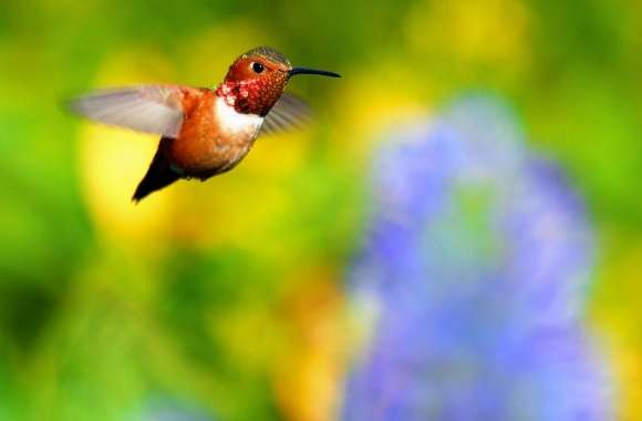Rufous Hummingbird Flying wallpapers hd quality
