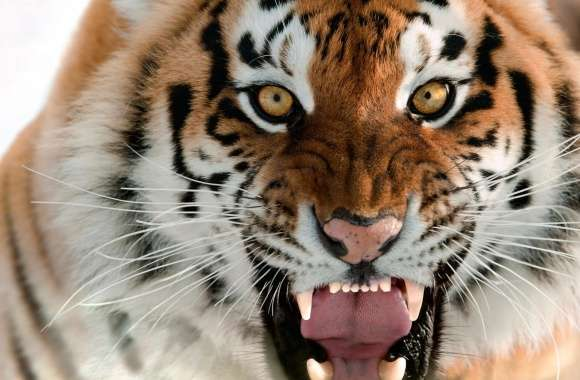 Tiger Roar Face wallpapers hd quality