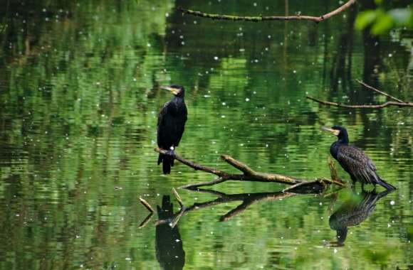 Two Cormorants Birds