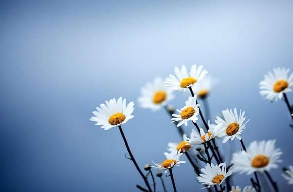 White Daisies Flowers wallpapers hd quality