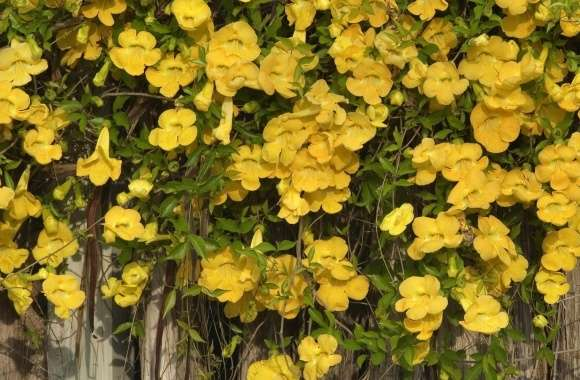 Yellow Flowers On The Fence