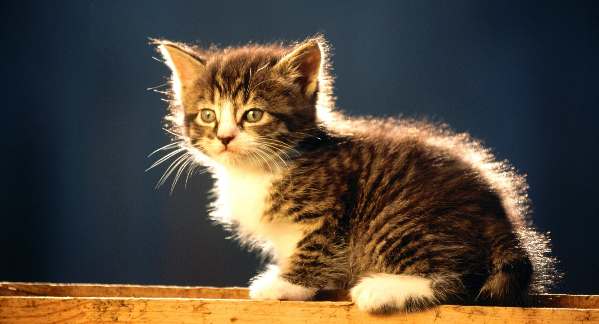 Cute Tabby Kitten wallpapers HD quality