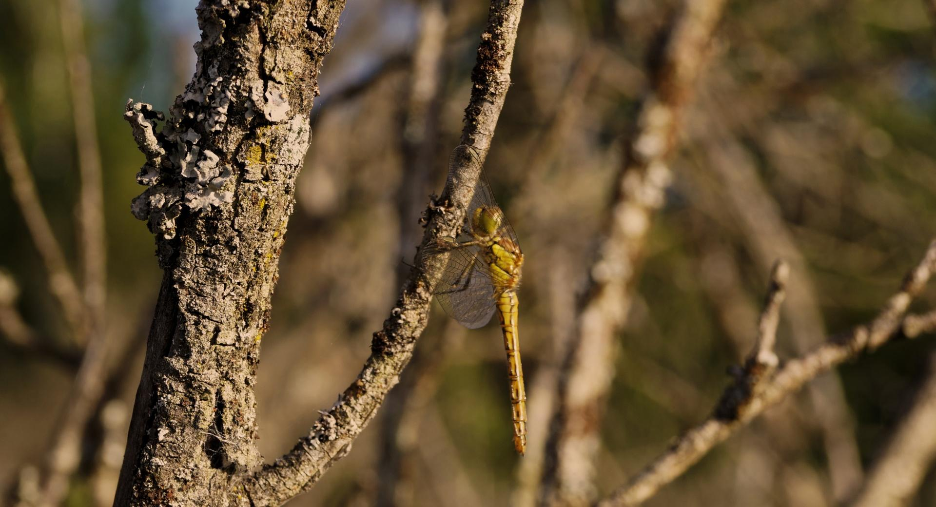 Dragon-fly wallpapers HD quality