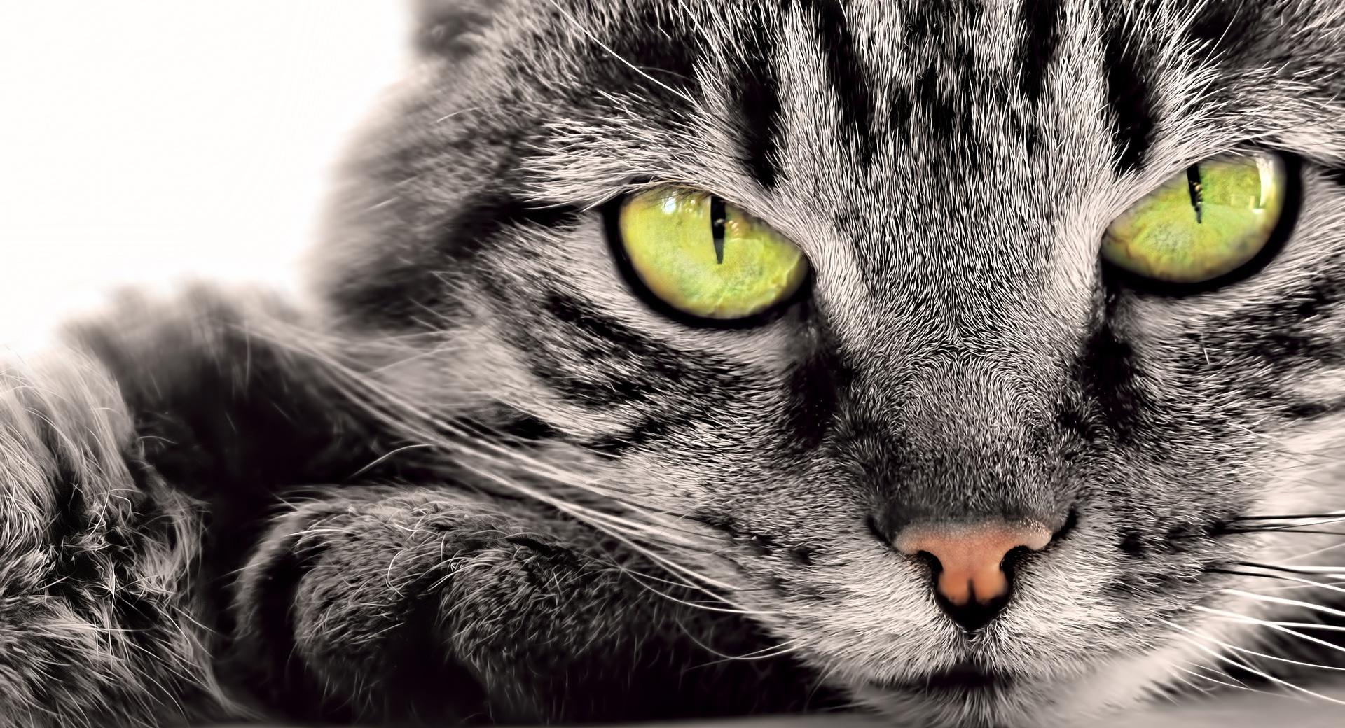 Gray Cat wallpapers HD quality