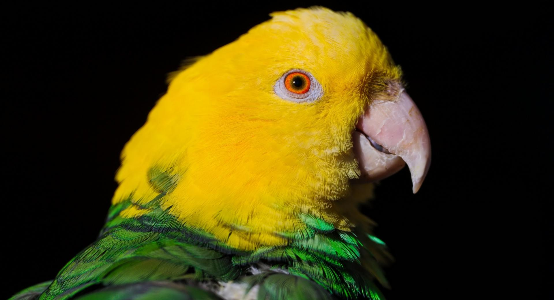 Green And Yellow Parrot wallpapers HD quality