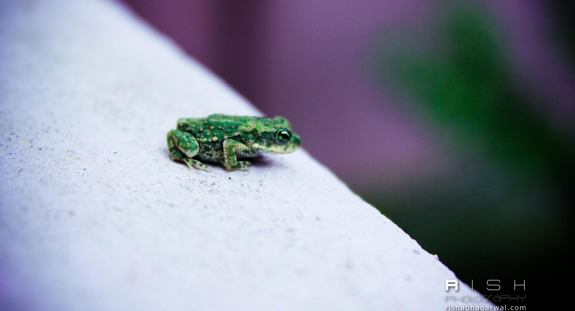 Green Frog wallpapers HD quality