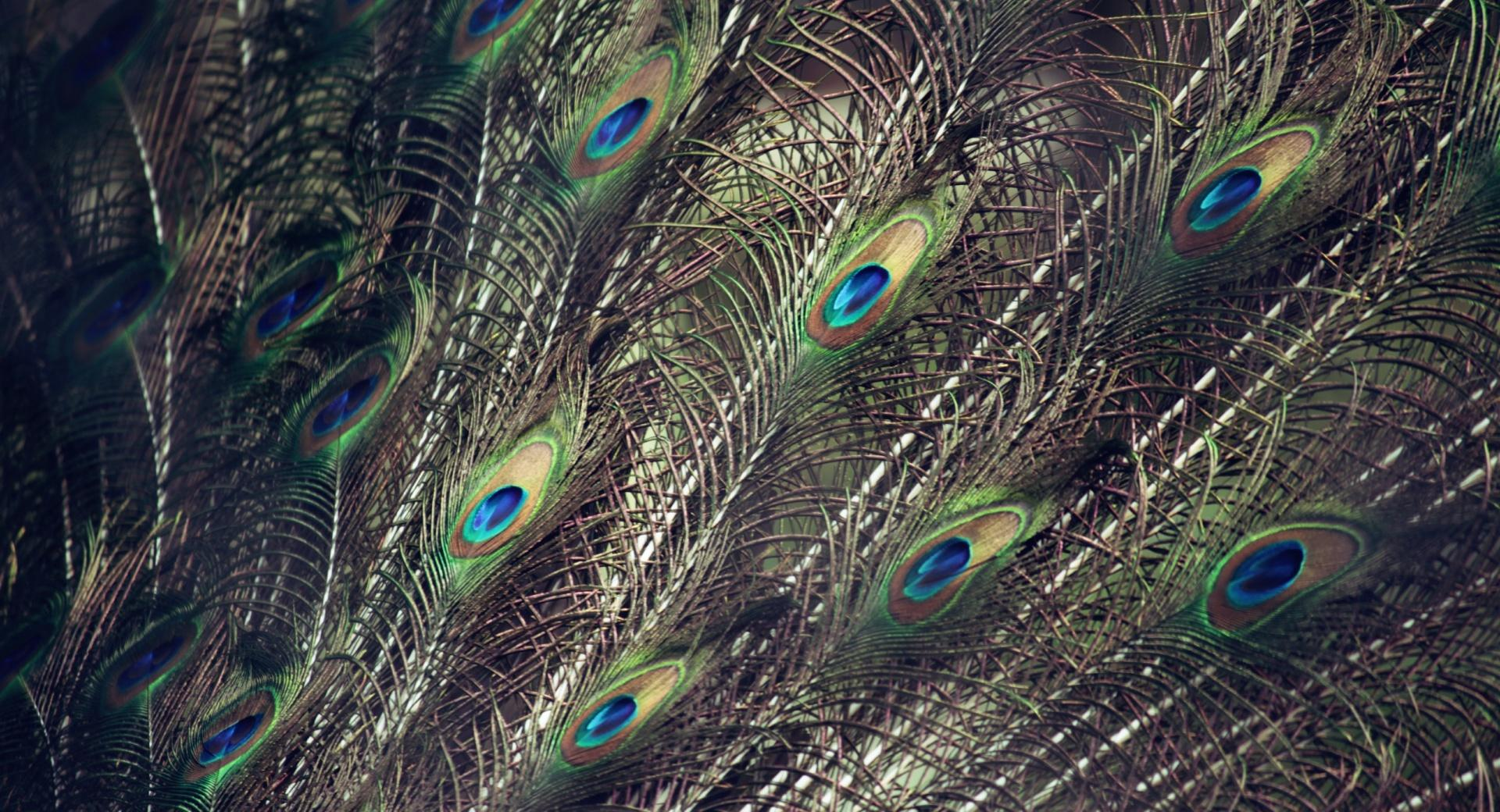 Peacock Wings wallpapers HD quality