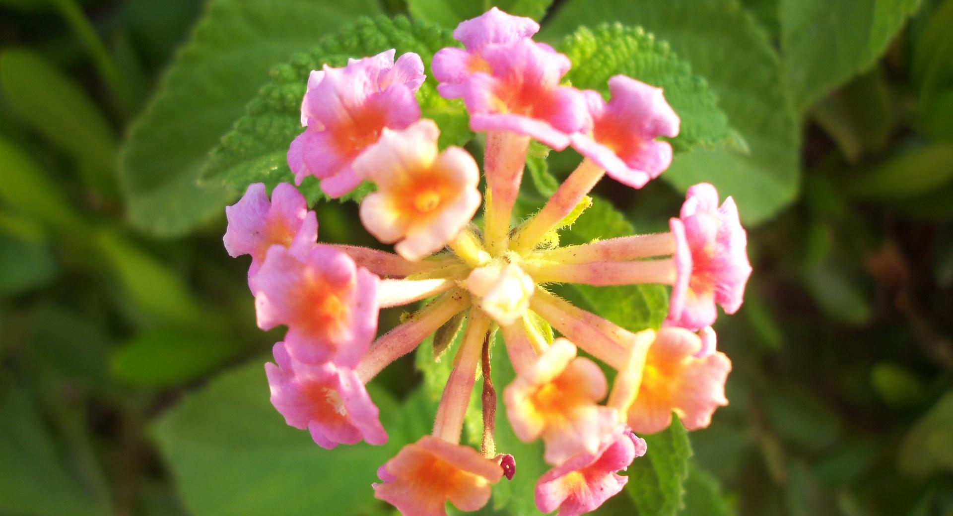 Pink Lantana Flowers wallpapers HD quality