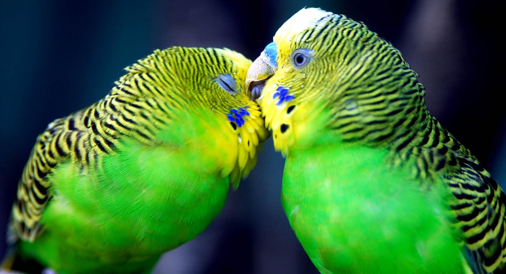 Two Parrots wallpapers HD quality