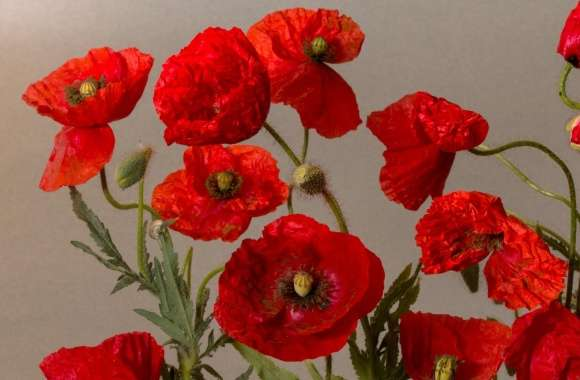 Beautiful Poppies Flowers