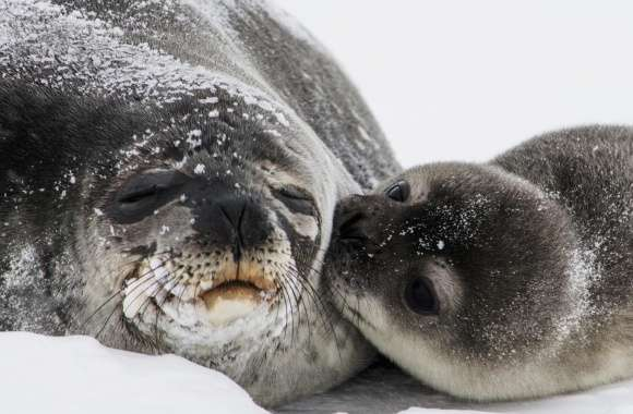 Cute Baby Seal Kiss