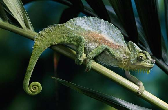 Four Horned Chameleon