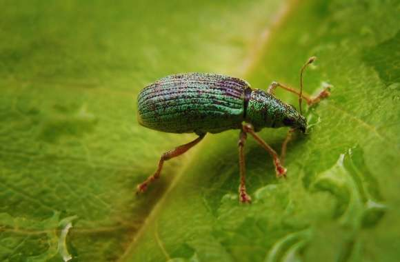 Green Bug On A Leaf