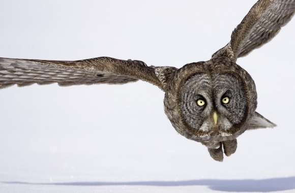Hunting Great Gray Owl
