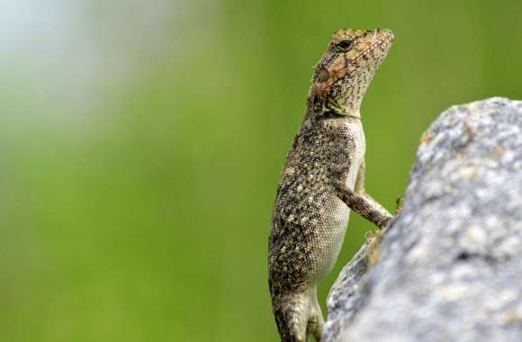 Mountain Lizard
