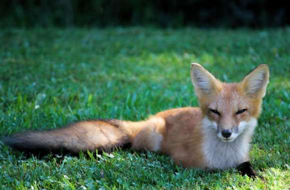 Pretty Red Fox