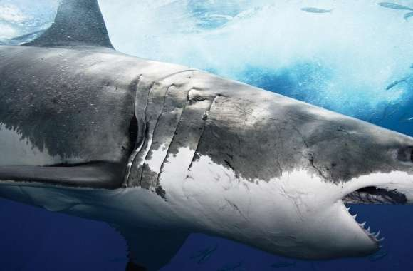 Sea Predator Shark wallpapers hd quality