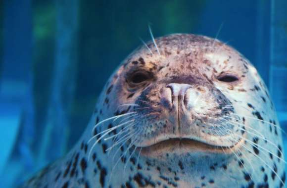 Spotted Seal Winking