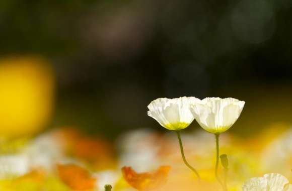 Two White Poppy Flowers