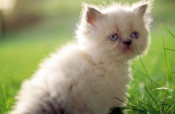 White Persian Kitten With Blue Eyes
