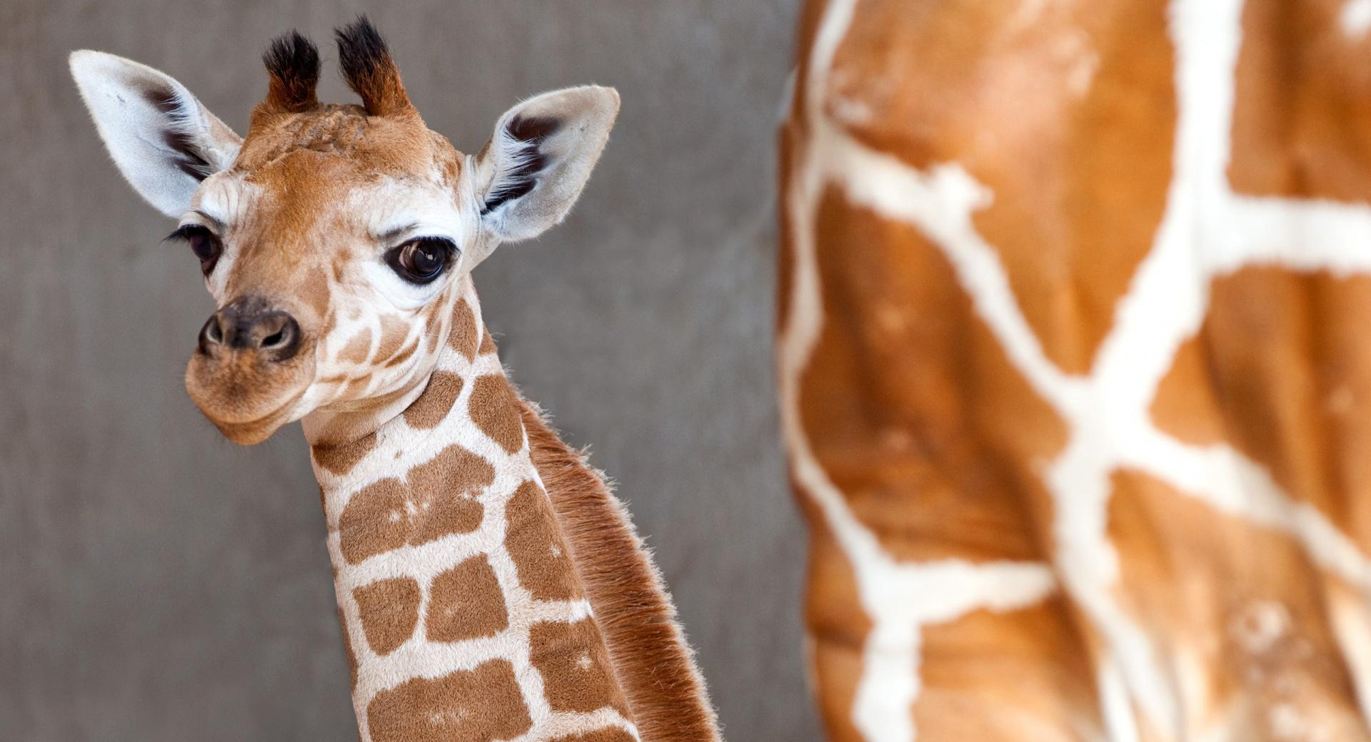 Baby Giraffe at 640 x 1136 iPhone 5 size wallpapers HD quality