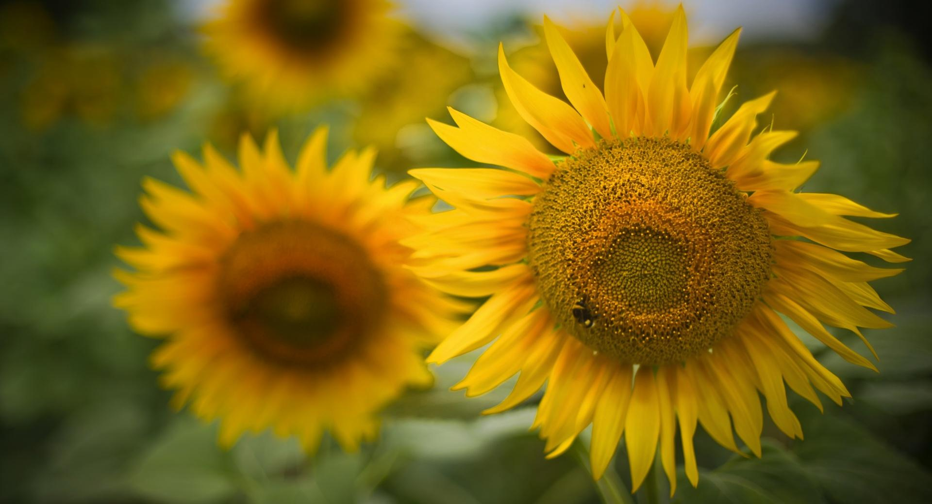 Beautiful Sunflowers wallpapers HD quality