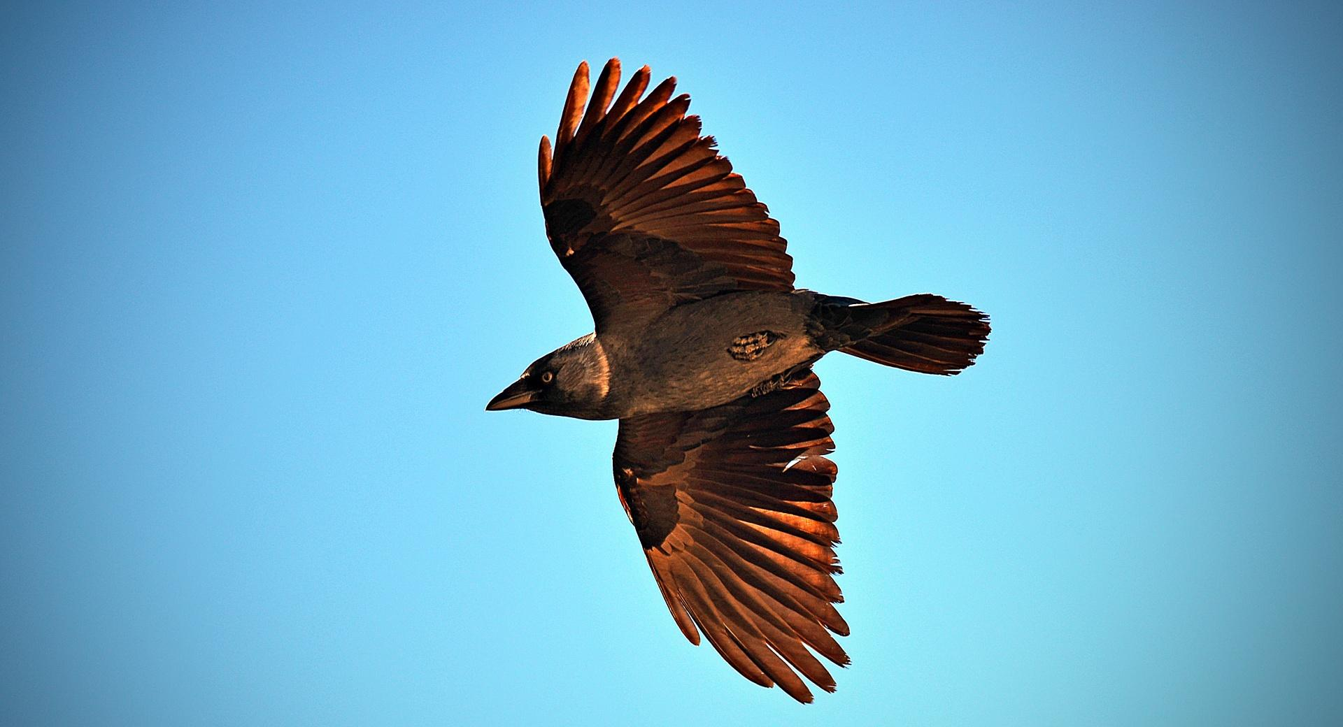 Crow Flying wallpapers HD quality