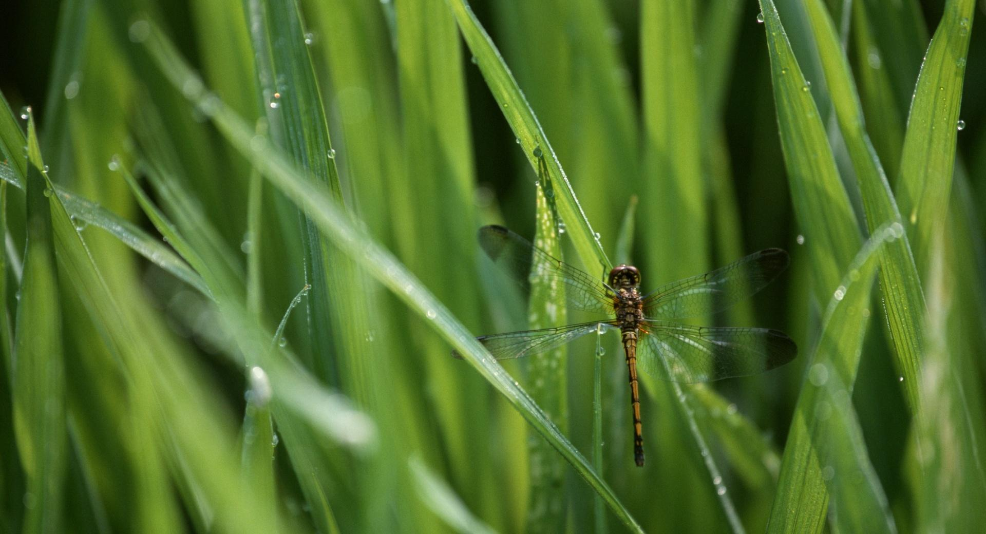 Dragonfly In The Grass wallpapers HD quality
