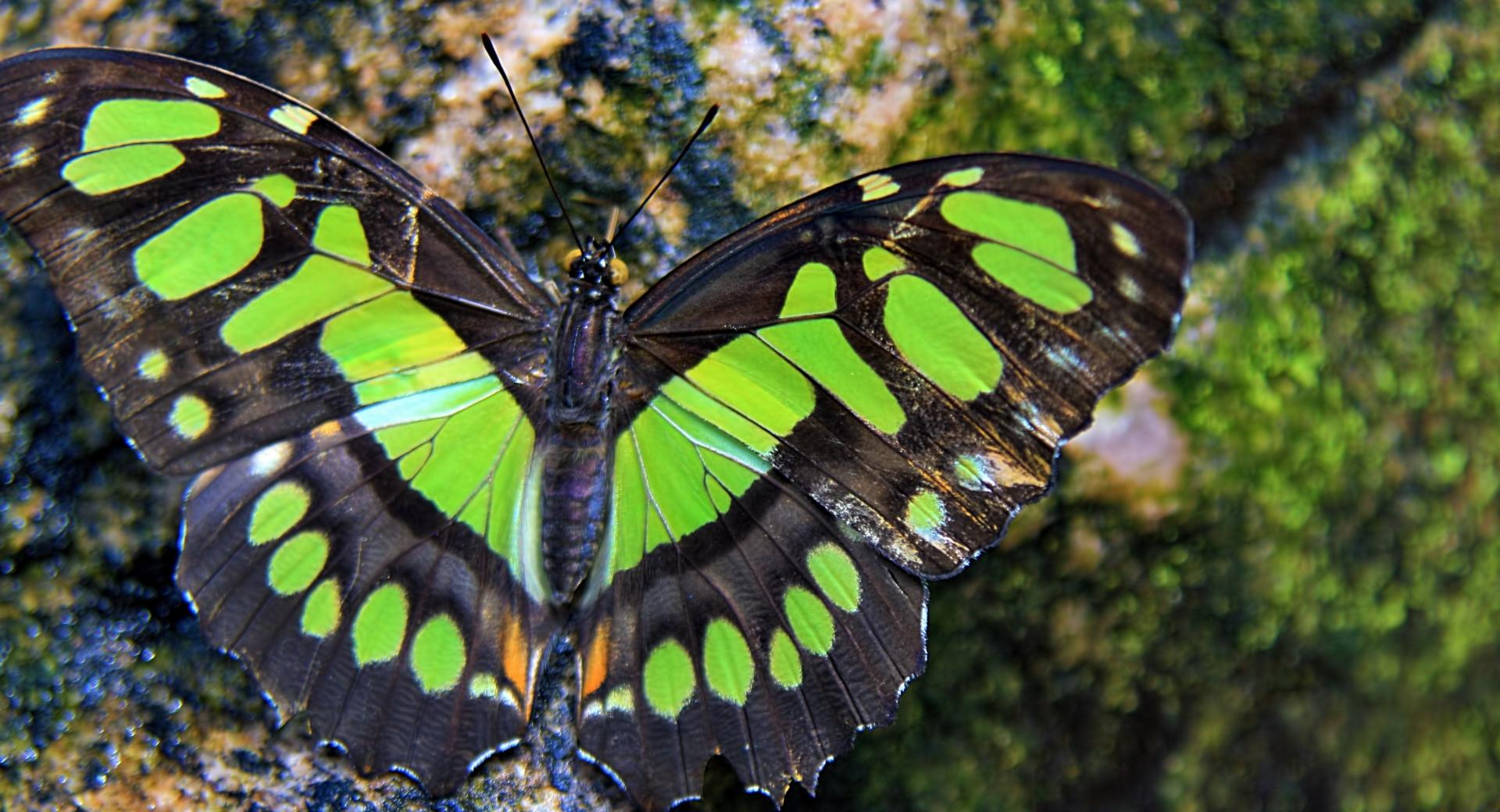 Green Butterfly wallpapers HD quality