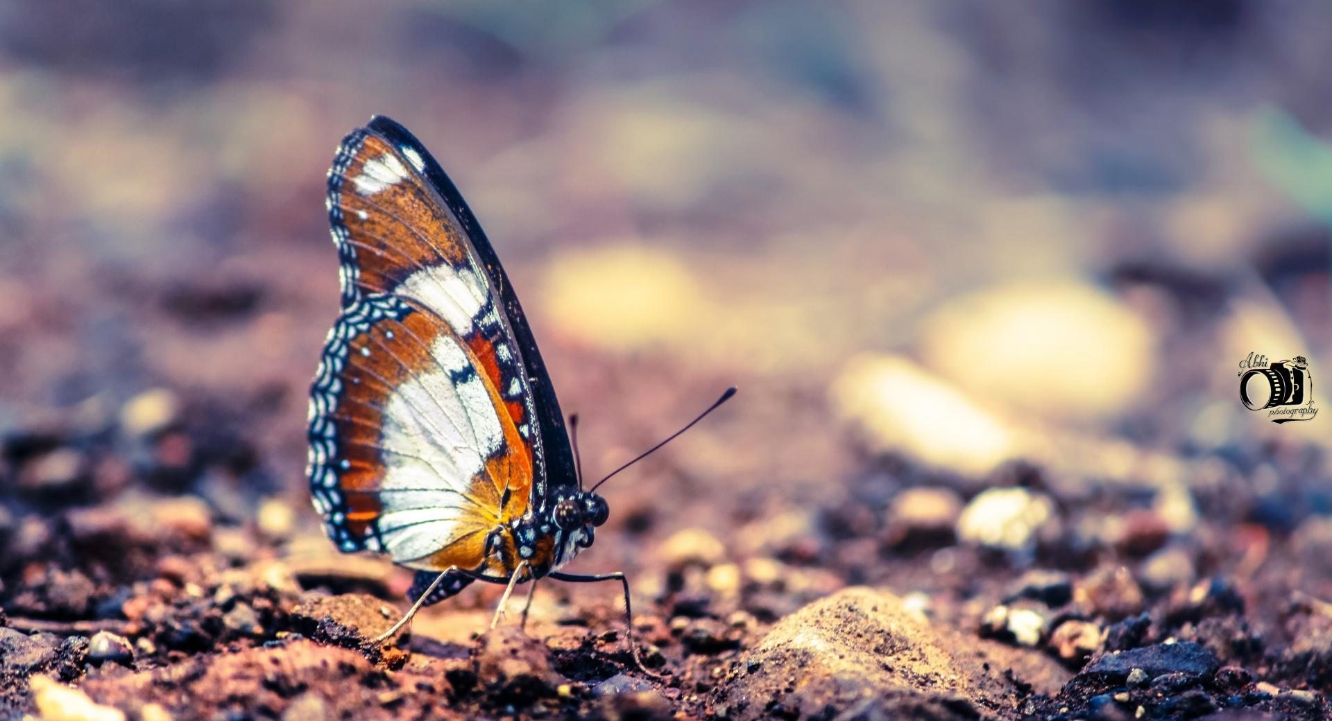Monarch Butterfly wallpapers HD quality