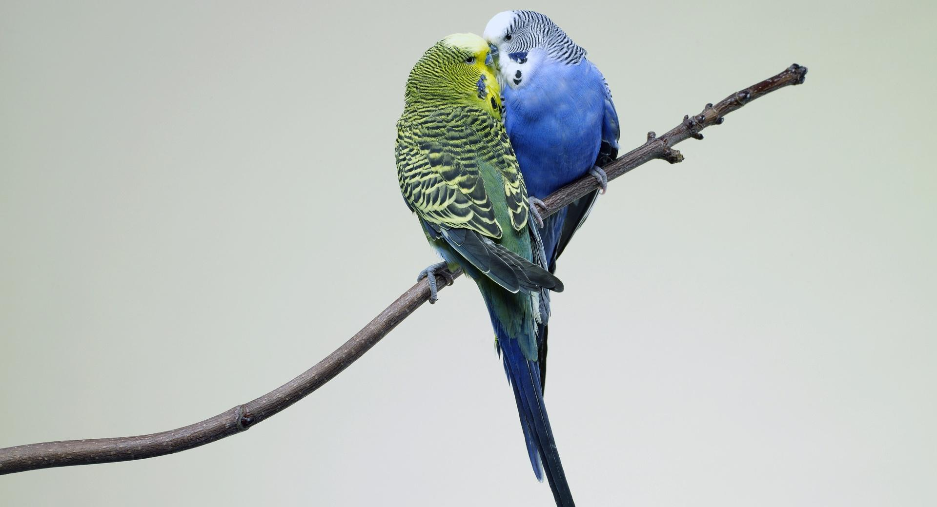Parrots Kiss wallpapers HD quality