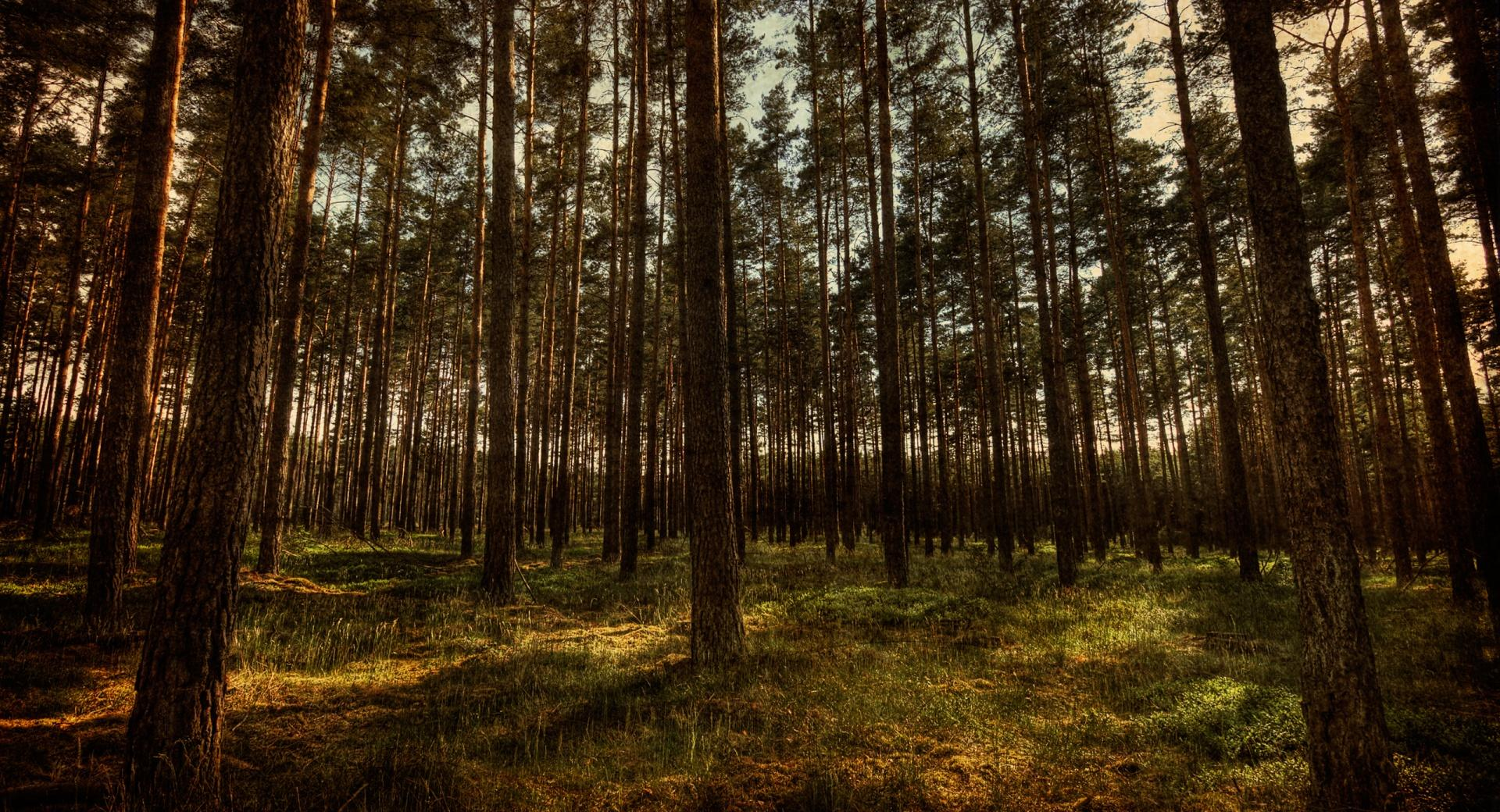 Pine Forest, HDR wallpapers HD quality
