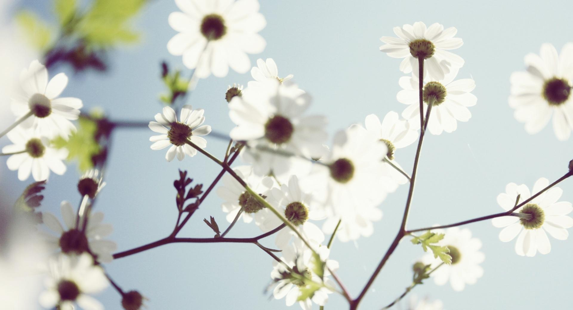 White Summer Flowers wallpapers HD quality