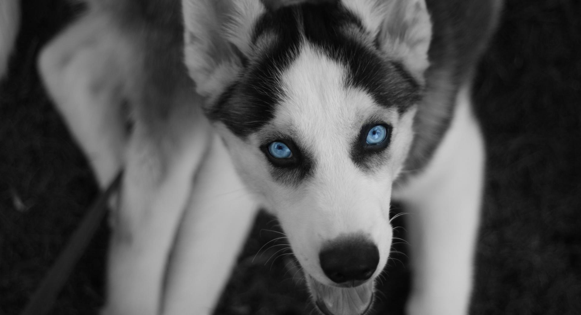 Young Husky wallpapers HD quality