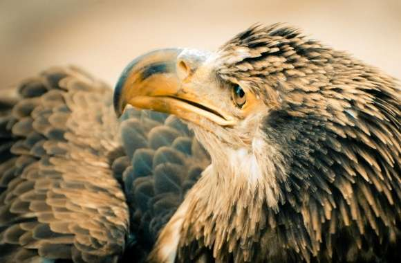 3 Year Old Bald Eagle wallpapers hd quality