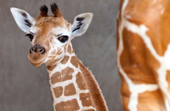 Baby Giraffe wallpapers hd quality