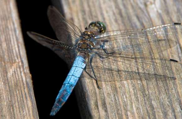 Blue Dragonfly, Libelle, Austria wallpapers hd quality