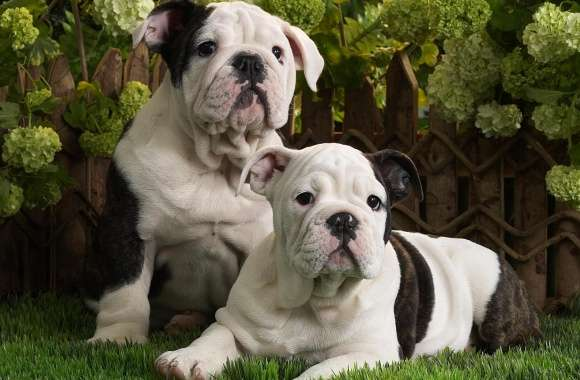 Bulldog Puppies wallpapers hd quality