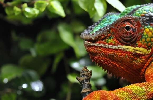 Chameleon Changing Color Macro wallpapers hd quality