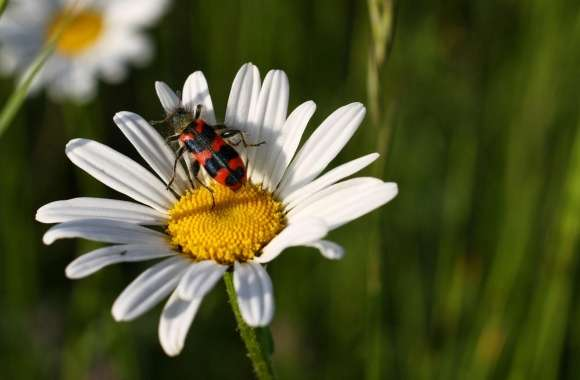 Daisy And Insect wallpapers hd quality