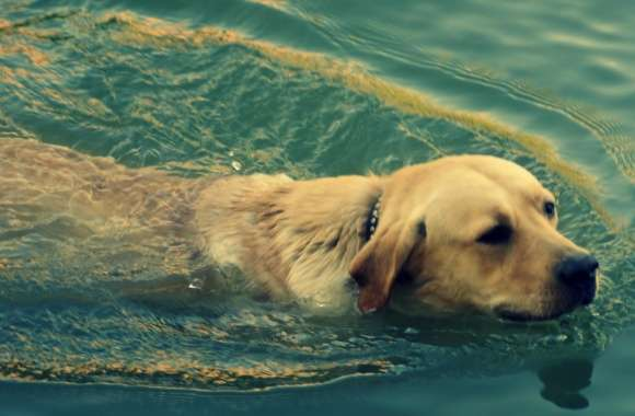Dog Swimming wallpapers hd quality