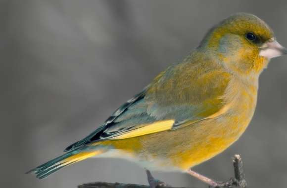 European Greenfinch wallpapers hd quality