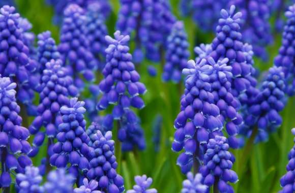 Grape Hyacinth wallpapers hd quality