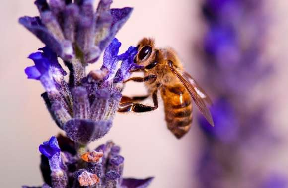 Honey Bee, Lavender wallpapers hd quality