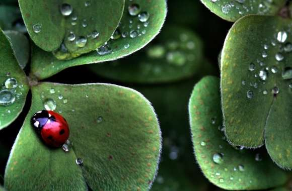 Ladybug Sitting On A Clover Leaf wallpapers hd quality