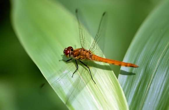 Orange Dragonfly wallpapers hd quality