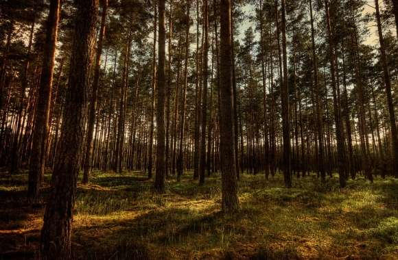 Pine Forest, HDR