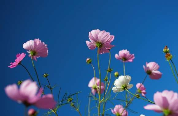 Purple Cosmos Flowers, Blue Sky wallpapers hd quality